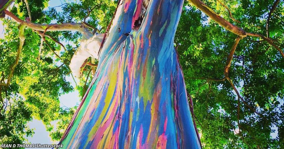 Эти деревья превращаются в радугу, когда сбрасывают кору