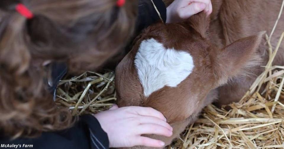 Телёнок родился 14 февраля с пятном в форме идеального сердца на голове
