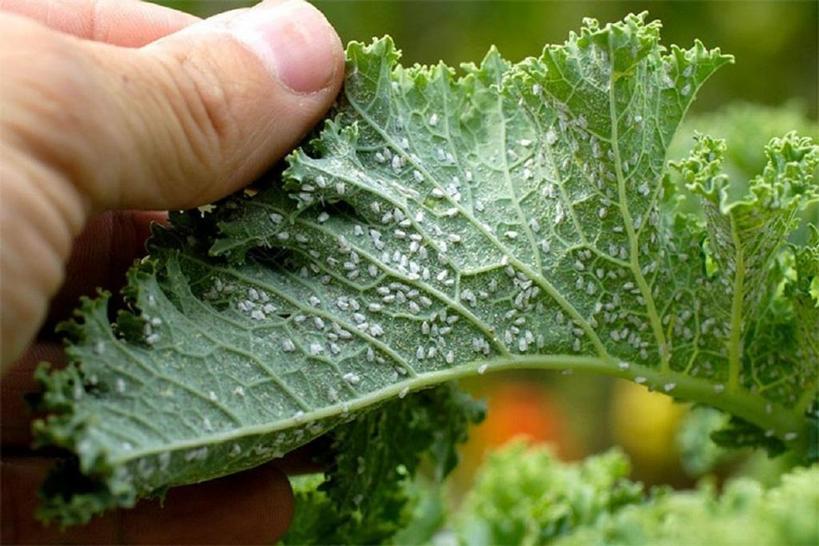 В прошлом году огурцы, помидоры и смородина были заражены тлей. Избавились от проблемы при помощи воды, уксуса и моющего средства