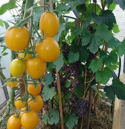 Сажайте желтые помидоры: их употребление способствует продлению молодости   разглаживается кожа, исчезают мелкие морщинки