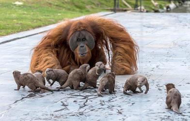 Орангутаны дружат с выдрами в зоопарке