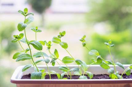 Помидоры, морковь и многое другое: растения, которые можно успешно выращивать в горшке на балконе