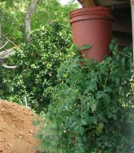 Сестра прошлым летом сделала перевернутый плантатор для помидоров: отличная идея для выращивания томатов черри