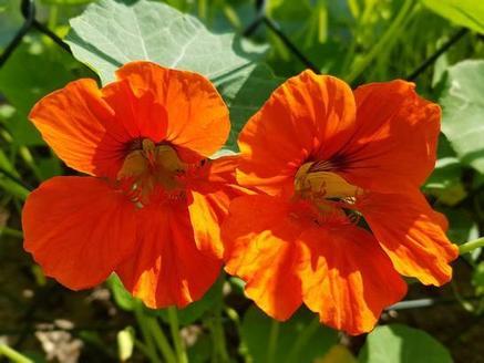 Посеял, полюбовался и съел! Черный тмин, фиалки, сафлор: советы, как использовать эти декоративные растения в пищу