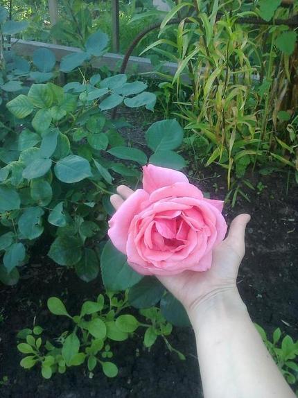 Розы   моя гордость. У них очень яркие цветы, потому что я знаю, когда их стоит полить настоем из золы