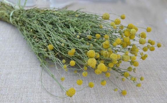 Посадила на участке земляничную траву. Растение очень красивое и ароматное. Оказывается, ее можно использовать, как пряность