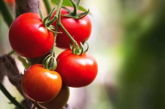 Мочевина и сульфат калия для огурцов. Чем подкармливать овощи в июне, в период цветения