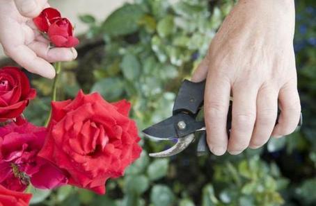 Розы - моя гордость. У них очень яркие цветы, потому что я знаю, когда их стоит полить настоем из золы