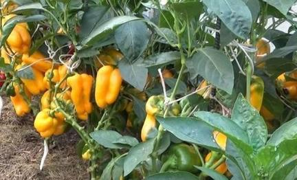 У мамы всегда богатый урожай перца. Она рассказала, что все дело в удалении коронного бутона