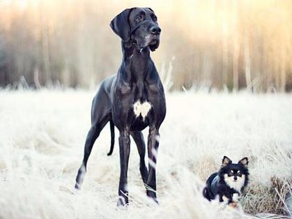 Мопсы не любят двигаться, а французского бульдога можно взять в офис: ленивые породы собак, которые идеально подойдут занятым хозяевам