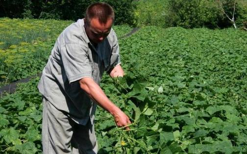 5 июня - Левон Огуречник. Всегда первый саженец закапываю и читаю специальный заговор. Действенный способ получить урожай