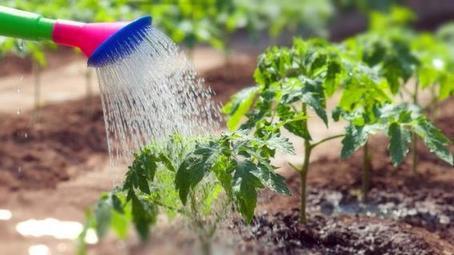 Чтобы обеспечить себя завидным урожаем томатов, после высадки рассады поливаю ее янтарной кислотой: лайфхак