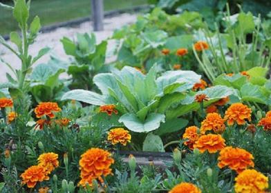 Бабушка всегда в огороде сеяла бархатцы: оказалось, что не для красоты, как я раньше думала