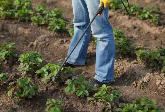 Какое удобрение нужно внести под клубнику в августе, чтобы она хорошо плодоносила в следующем году