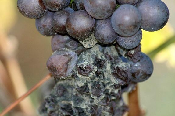 Почему гниет виноград и что нужно сделать, чтобы этого избежать. Мне помогла обычная сода