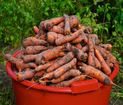 Морковь хранится долго, аж до следующего урожая. А подготовить ее к хранению просто, главное   подсушить