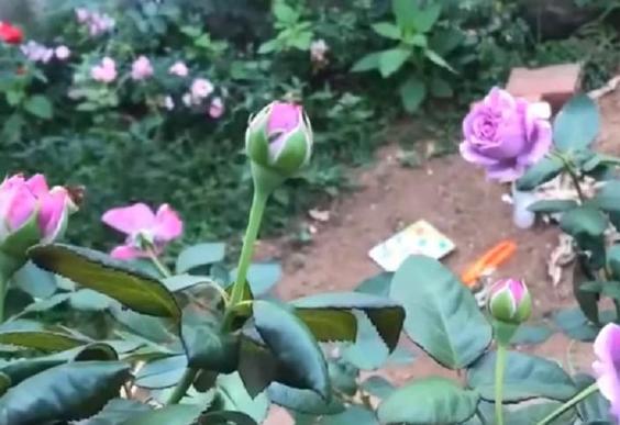 Для садоводов-любителей: интересный способ быстро получить взрослое растение на примере розы