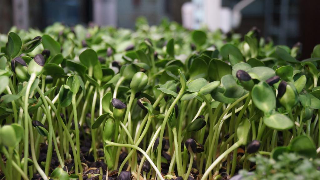 Можно употреблять уже через неделю: выращиваем микрозелень из семечек подсолнечника