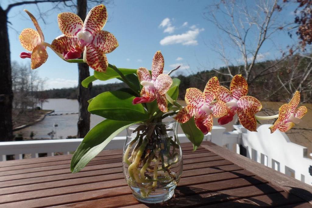 Как правильно нарастить корни у орхидеи: простой способ