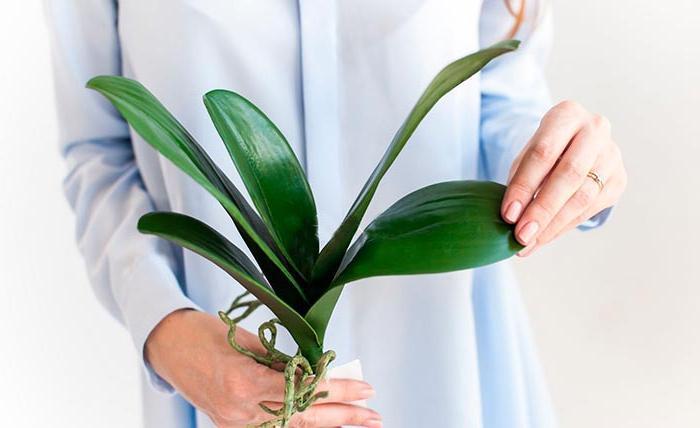 Какой лист подойдет для выращивания орхидеи и почему говорят, что цветок не размножить этим способом
