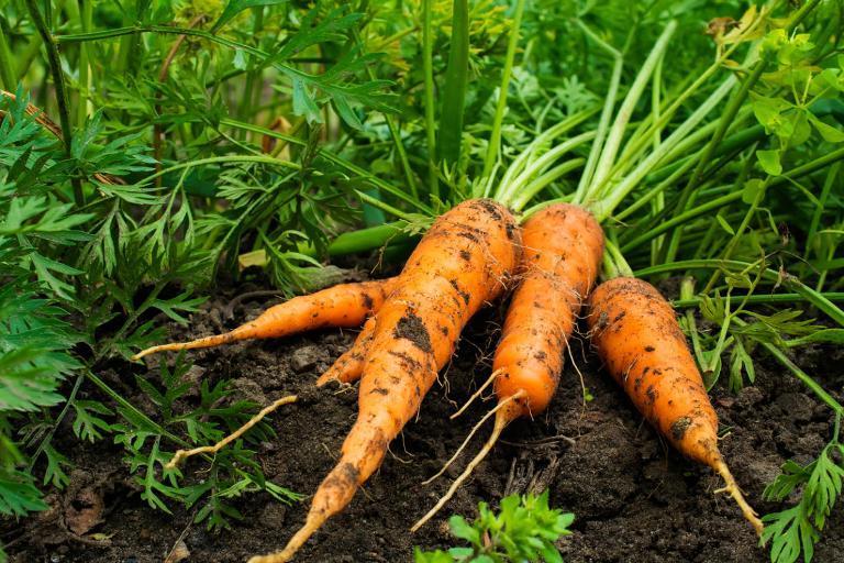 Как легче всего высадить морковь: минимум ухода и без прореживания