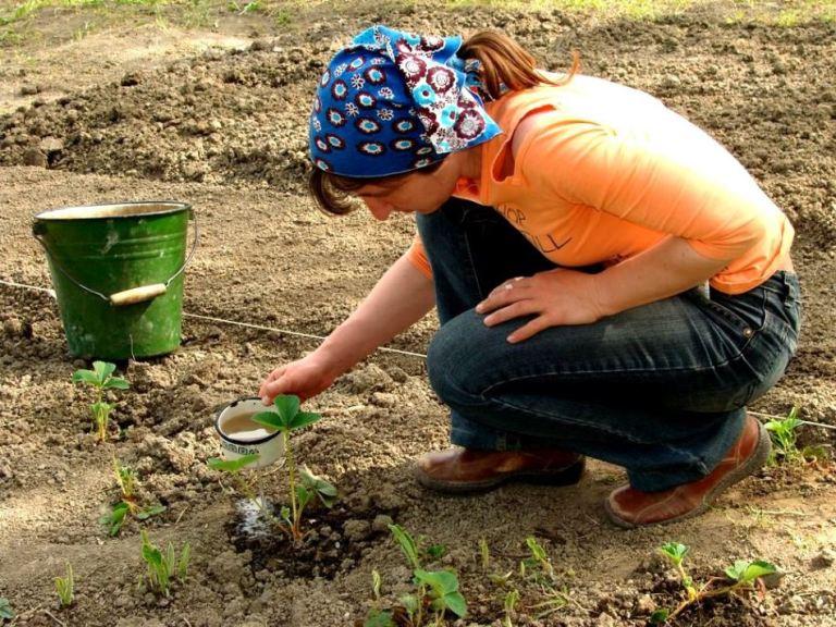 Полить горячей водой с йодом: как обрабатывать клубнику в марте, чтобы летом получить щедрый урожай