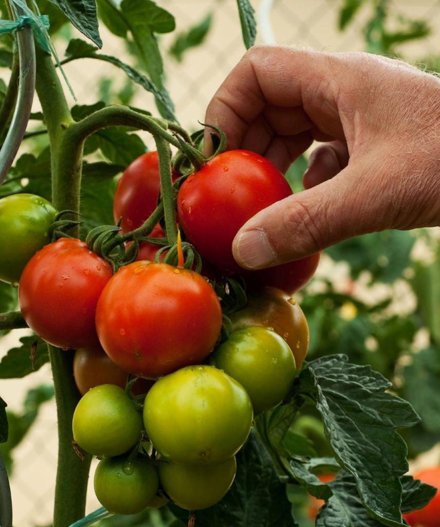 Меняем грядки и поливаем реже. Как получить богатый урожай томатов
