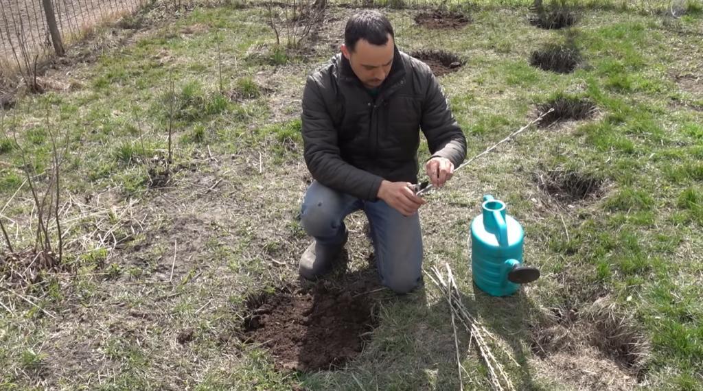 Из одного черенка вырастет огромный куст: несколько простых правил - и большой ягодный урожай обеспечен