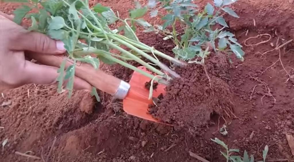 Что делают опытные огородники, чтобы получить богатый урожай томатов: три основных шага
