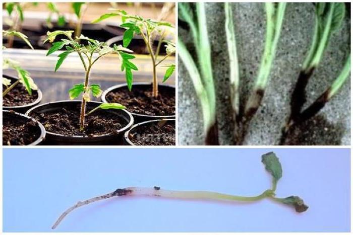У рассады черная ножка: какие нужно принять меры, чтобы сохранить урожай