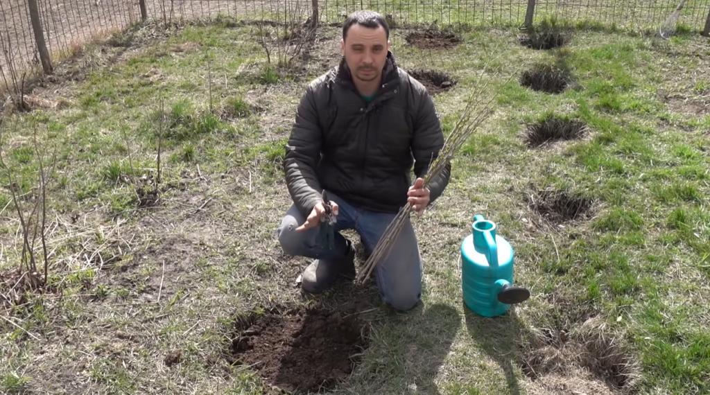 Из одного черенка вырастет огромный куст: несколько простых правил   и большой ягодный урожай обеспечен