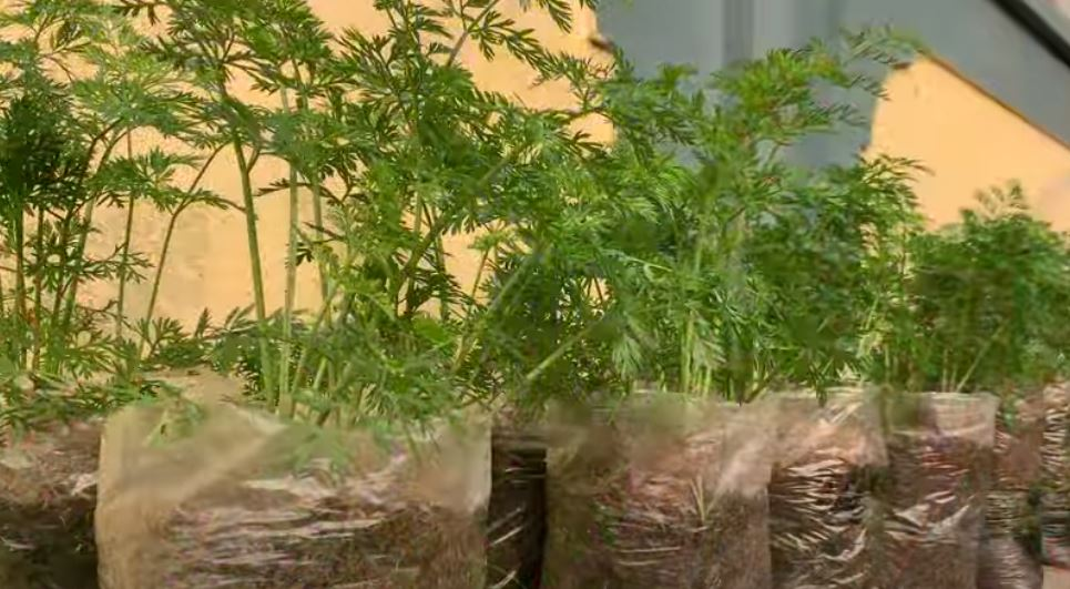 Вырастет крупная, ровная, одна в одну. Сажаем морковь в полиэтиленовые мешки (видео)