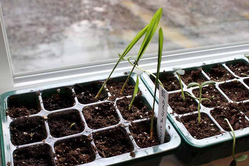 Почему чахнут саженцы кукурузы: причины и советы, как предупредить проблему