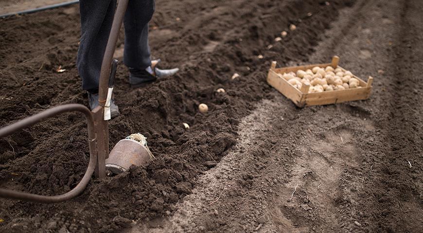 Лучшие сорта картофеля для обильного урожая: Гала, Жуковский, Удача
