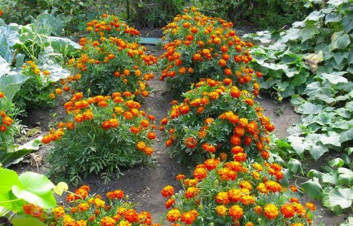 Для чего на огороде высаживают бархатцы: дело не только в их красоте