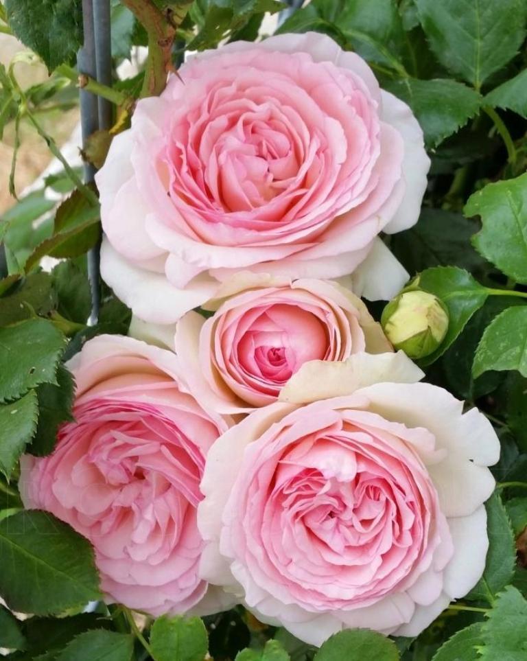 Перед высаживанием розу нужно подстричь: хитрый способ получить пышные и ароматные цветы