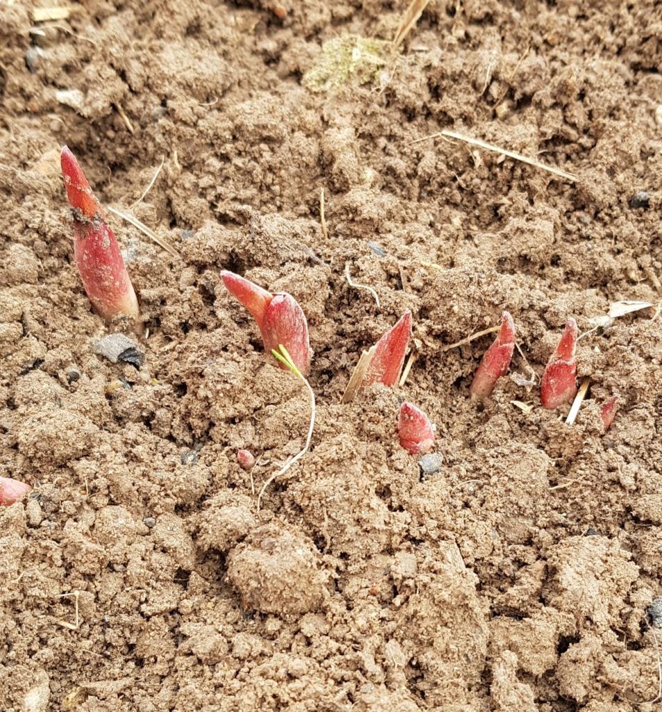 В мае пионам нужен азот и фосфор. Кусты ответят пышным цветением