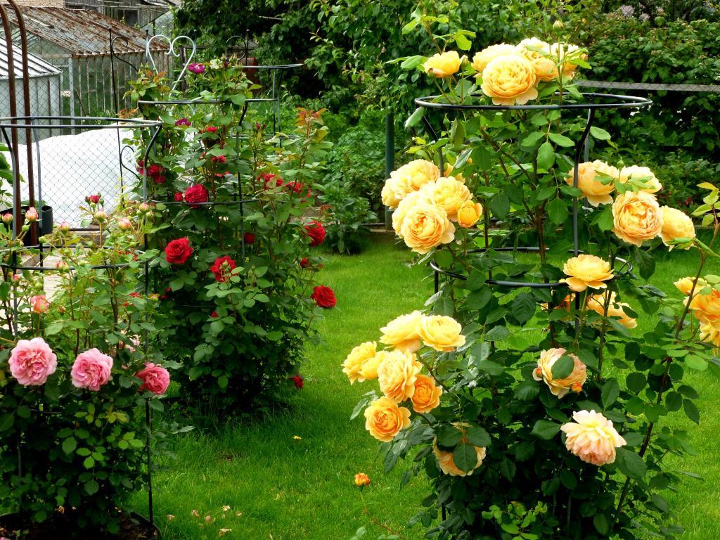 Опытные садоводы зимой хранят кофейную гущу. Как заставить розы цвести все лето