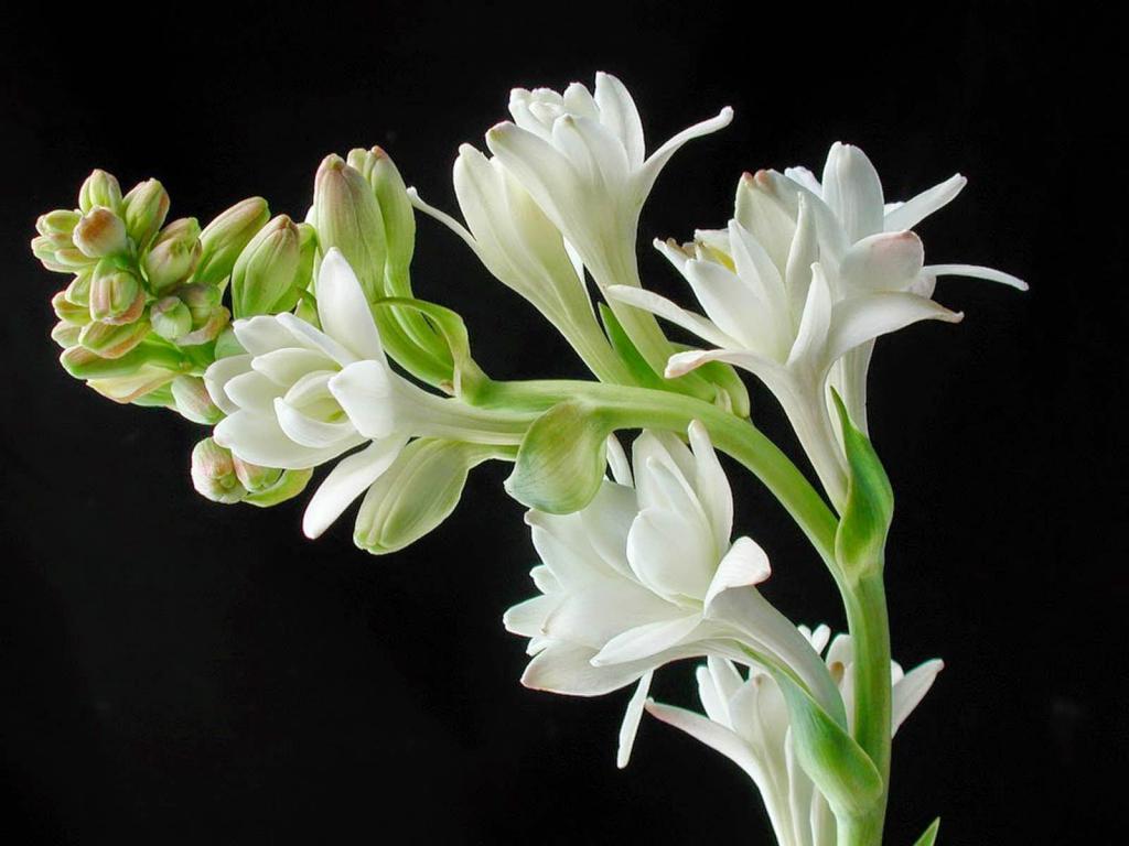 Цветы туберозы: у них не только приятный аромат – они снимают стресс, беспокойство и сохраняют здоровье кожи