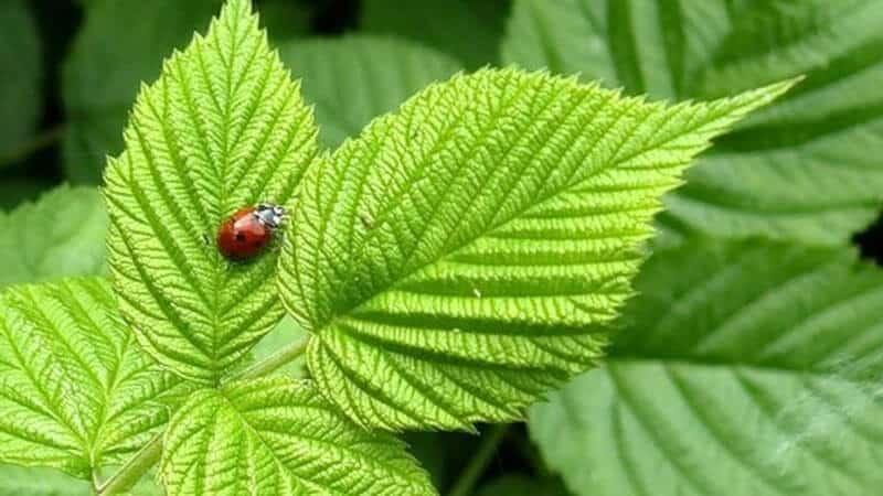 Идеальное время сбора – 10-11 часов утра: собираем листья смородины и малины для ароматного чая