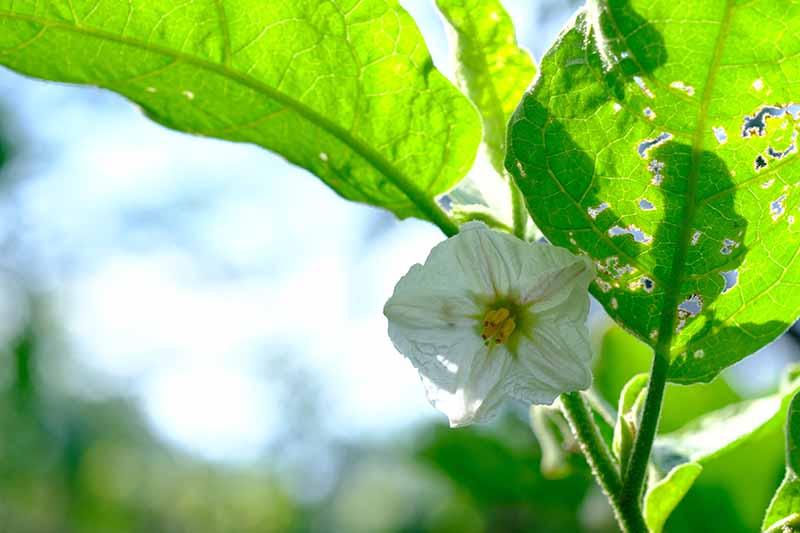 Как не допустить опадания цветков на баклажаных: причины и советы