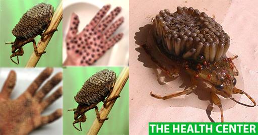 Люди! ВНИМАНИЕ! Новый насекомый убийца может лишить Вас жизни в течение нескольких часов, если Вы дотронетесь до него голыми руками!