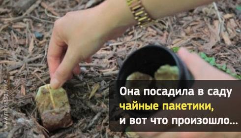 Посадите в саду чайный пакетик, и произойдет удивительное!