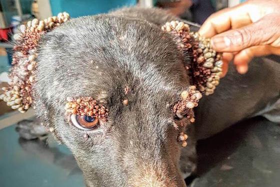 Из этой собаки вытащили больше 1000 клещей. После спасения бедное животное не узнать