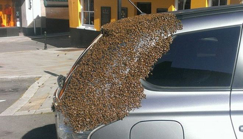 2 дня пчелиный рой преследовал машину этой женщины. Открыв багажник, она поняла почему!
